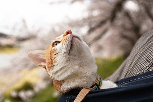 角館桧木内川堤&花見酒♪・2017桜_b0259218_23363926.jpg