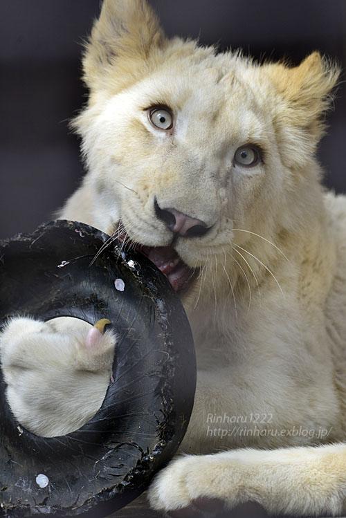 2017.4.16 宇都宮動物園☆ホワイトライオンのステルクとアルマルお誕生日会【White lions】_f0250322_1314557.jpg