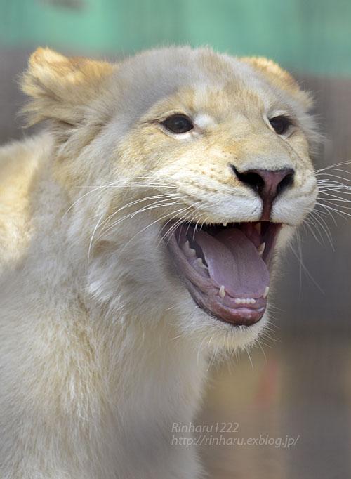 2017.4.16 宇都宮動物園☆ホワイトライオンのステルクとアルマルお誕生日会【White lions】_f0250322_1315658.jpg