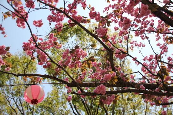 倶利伽羅峠の八重桜_b0132338_14544517.jpg