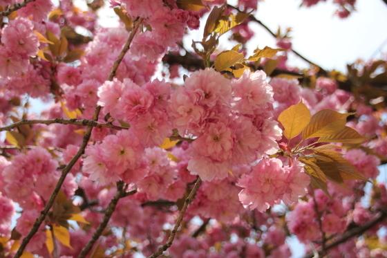 倶利伽羅峠の八重桜_b0132338_14552629.jpg