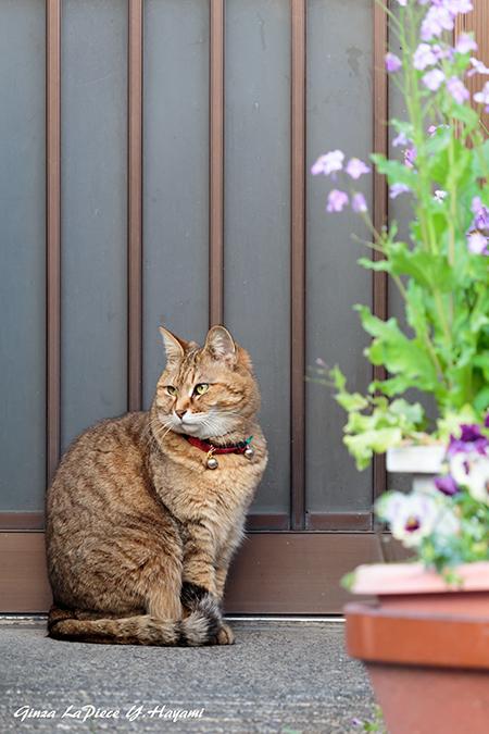 猫のいる風景 入れないキジトラ白ちゃん_b0133053_01135347.jpg