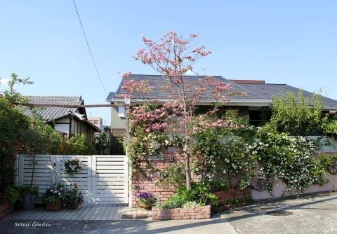 ◆ハナミズキとモッコウバラが咲きだしました_e0154682_22152352.jpg