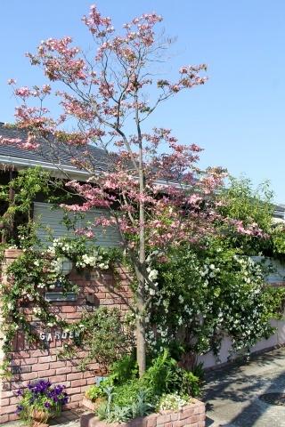 ◆ハナミズキとモッコウバラが咲きだしました_e0154682_22235258.jpg