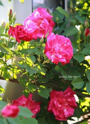 ◆ハナミズキとモッコウバラが咲きだしました_e0154682_22512738.jpg