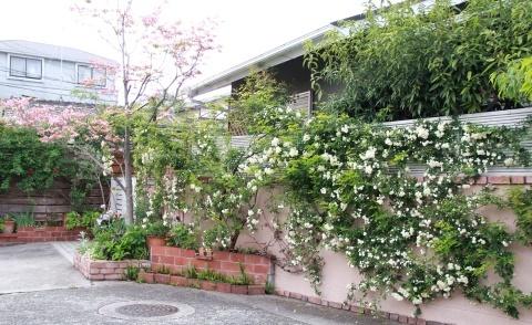 ◆ハナミズキとモッコウバラが咲きだしました_e0154682_22515945.jpg