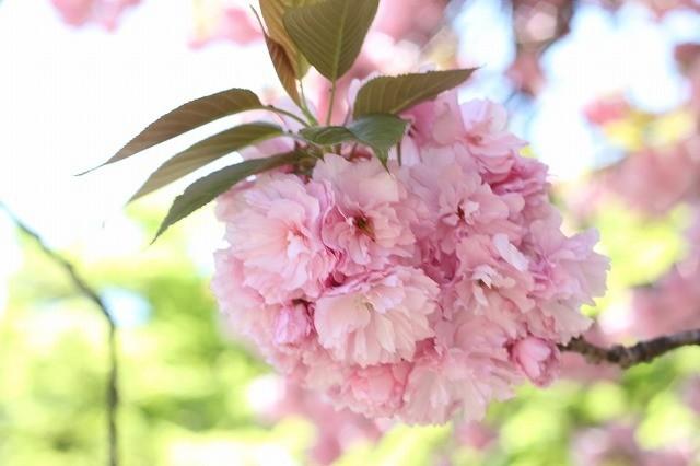 新宿御苑御苑の桜 2017春_f0374092_21501086.jpg