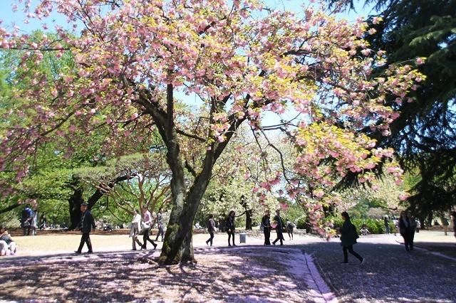 新宿御苑御苑の桜 2017春_f0374092_21505010.jpg