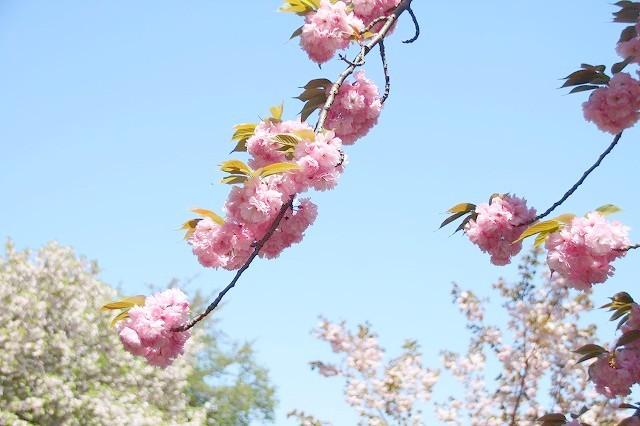 新宿御苑御苑の桜 2017春_f0374092_21511904.jpg
