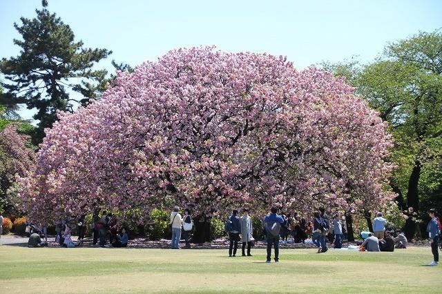 新宿御苑御苑の桜 2017春_f0374092_21520099.jpg