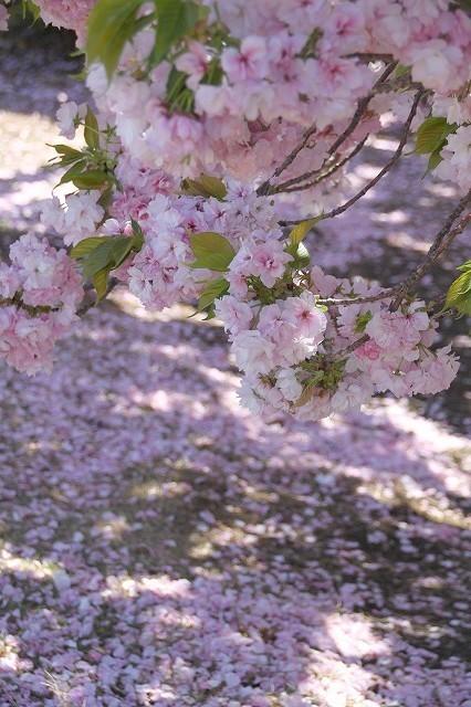 新宿御苑御苑の桜 2017春_f0374092_21521603.jpg
