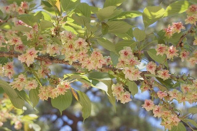 新宿御苑御苑の桜 2017春_f0374092_21532992.jpg