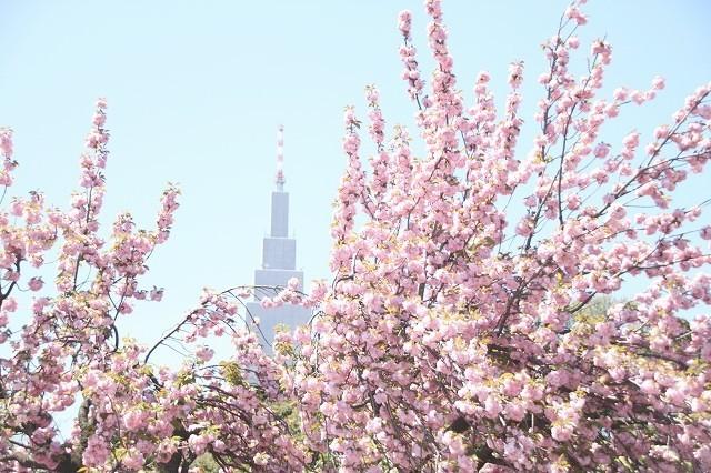新宿御苑御苑の桜 2017春_f0374092_21534834.jpg
