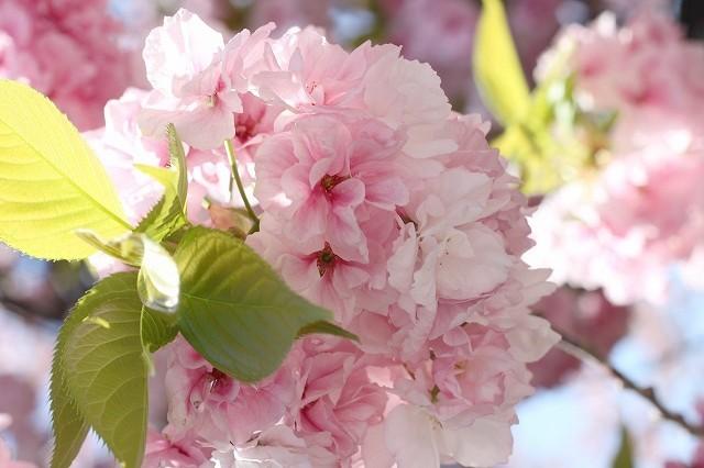 新宿御苑御苑の桜 2017春_f0374092_21545030.jpg