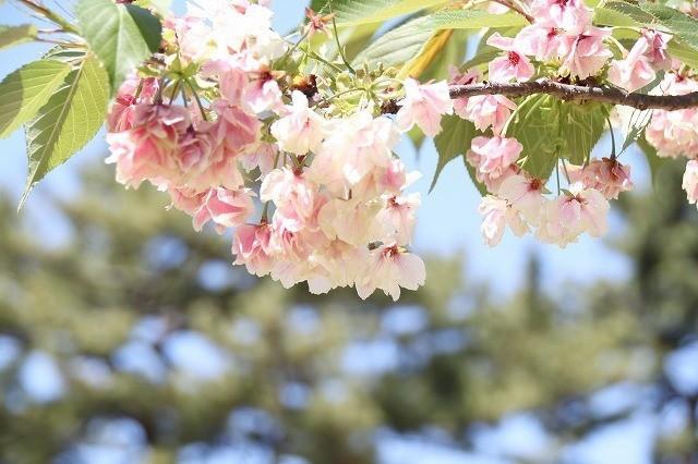新宿御苑御苑の桜 2017春_f0374092_21554991.jpg