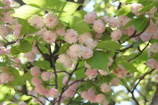 新宿御苑御苑の桜 2017春_f0374092_21560413.jpg