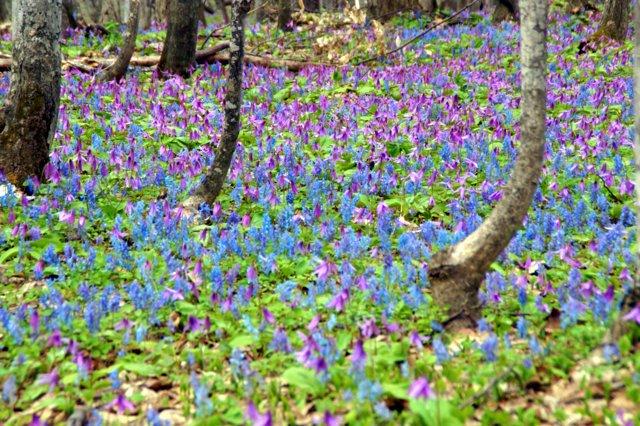 2017年4月28日(金) 春の花を探して(その7)旭川市~浦臼町_a0345007_20444577.jpg