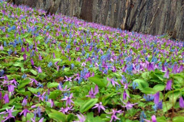 2017年4月28日(金) 春の花を探して(その7)旭川市~浦臼町_a0345007_20451038.jpg