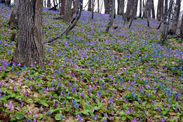 2017年4月28日(金) 春の花を探して(その7)旭川市~浦臼町_a0345007_2046376.jpg
