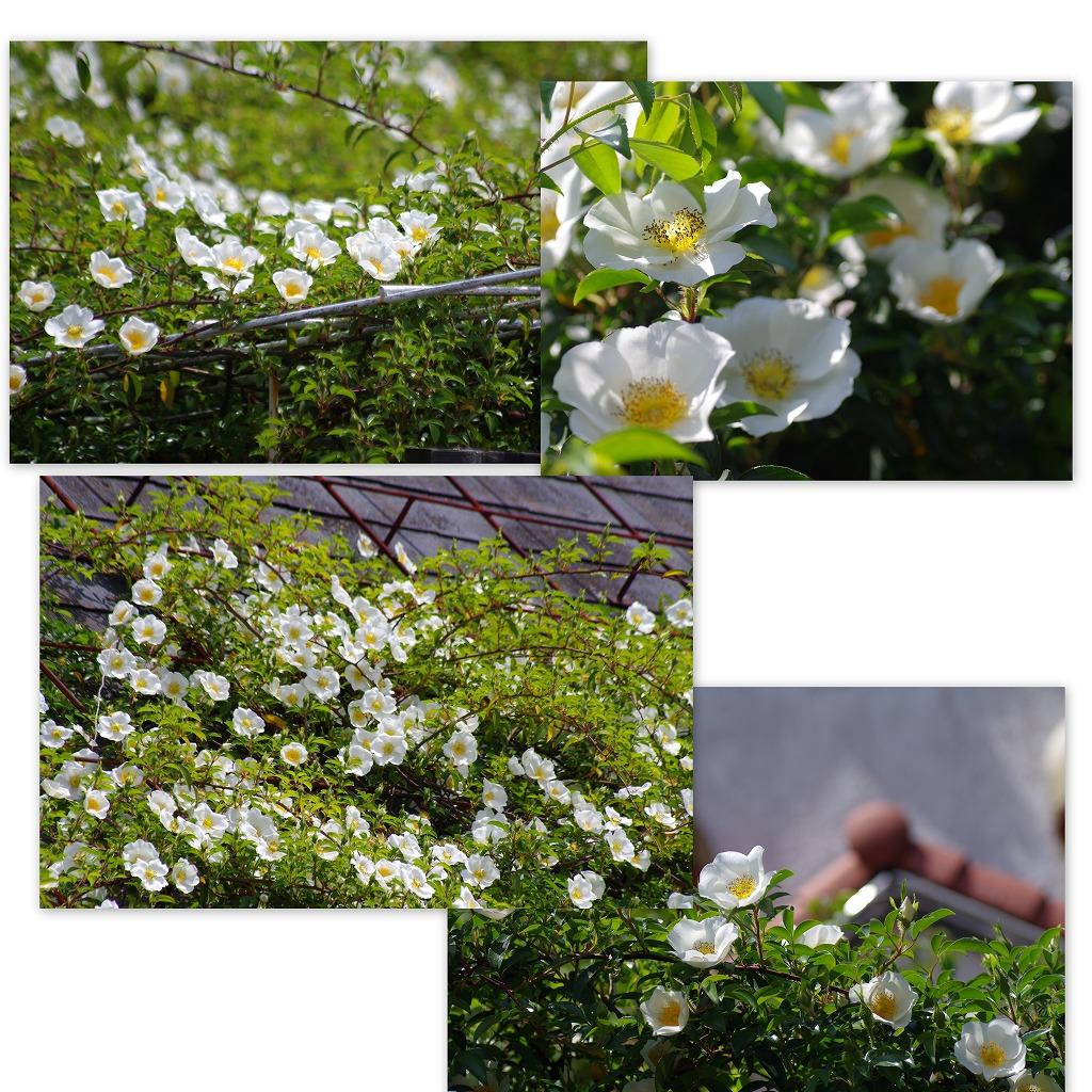 バラの季節なんだなぁ・・・_d0147812_54148.jpg