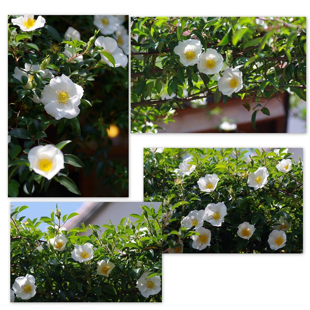 バラの季節なんだなぁ・・・_d0147812_54299.jpg