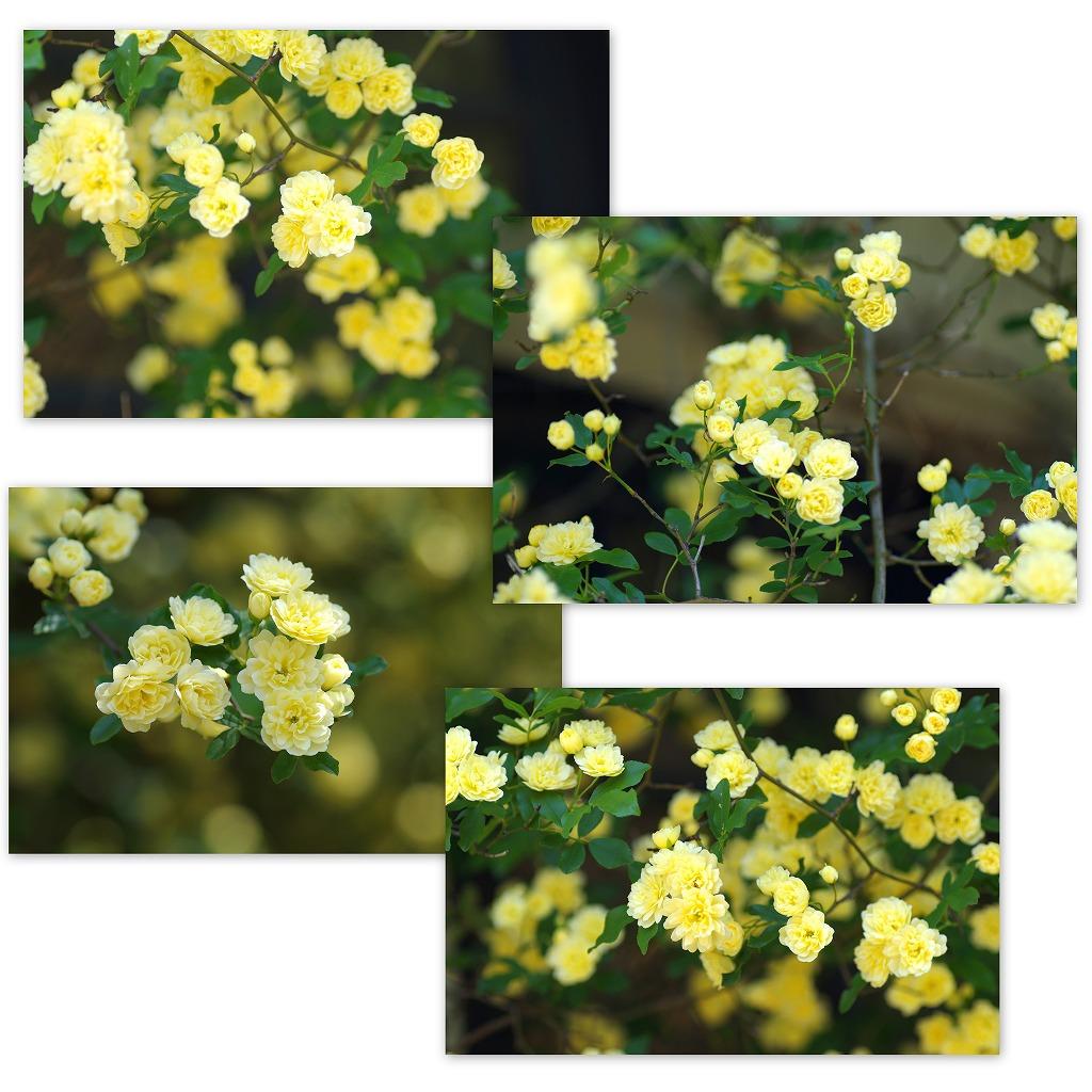 バラの季節なんだなぁ・・・_d0147812_55051.jpg