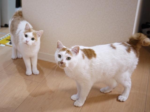 猫のお留守番 開くん咲くん編。_a0143140_21140364.jpg
