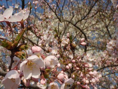 亀ヶ城公園の桜_a0096989_21014554.jpg
