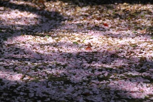 新宿御苑御苑の桜 2017春_f0374092_00015817.jpg
