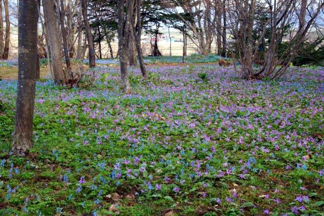 2017年4月28日(金) 春の花を探して(その7)旭川市~浦臼町_a0345007_11402188.jpg