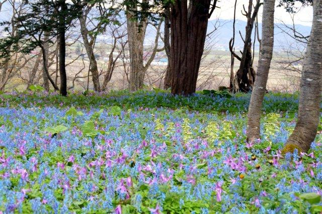 2017年4月28日(金) 春の花を探して(その7)旭川市~浦臼町_a0345007_1140509.jpg
