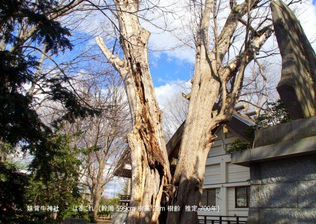 2017年5月1日(月)  「北海道の巨樹、巨木、名木」(第1回)_a0345007_14474717.jpg
