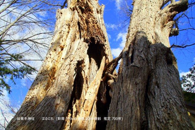 2017年5月1日(月)  「北海道の巨樹、巨木、名木」(第1回)_a0345007_14475881.jpg