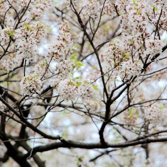 東北桜旅 〜岩手篇〜_f0197215_08551670.jpg