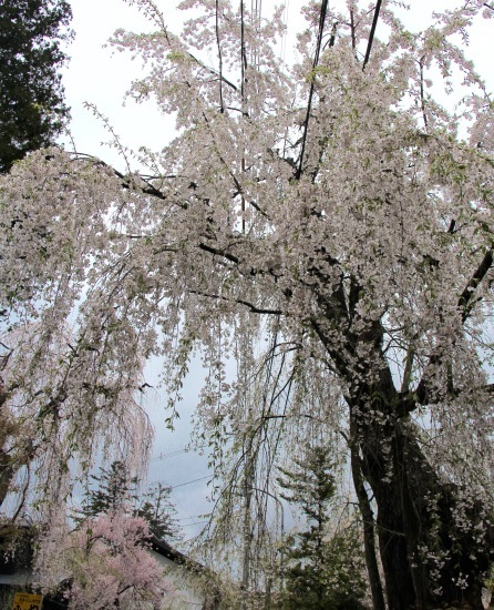 東北桜旅 〜秋田篇〜_f0197215_09475384.jpg