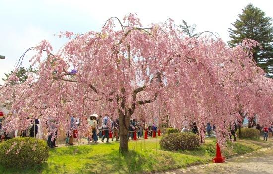東北桜旅 〜青森篇〜_f0197215_13133707.jpg