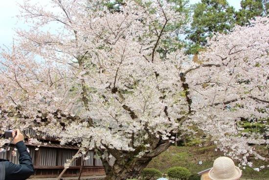 東北桜旅 〜青森篇〜_f0197215_13212336.jpg