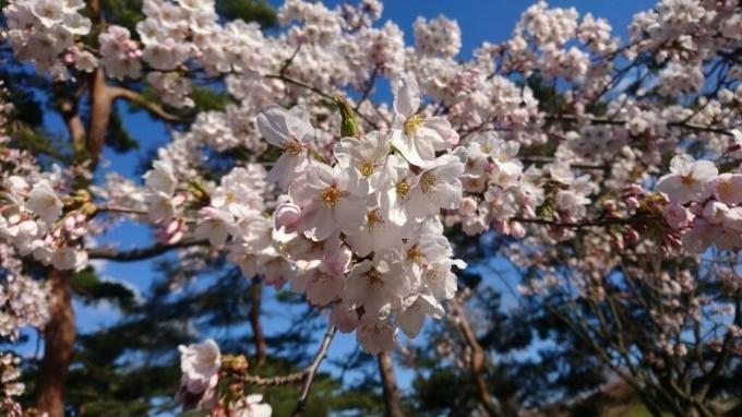 2017年5月1日(月)今朝の函館の天気と積雪、気温は。五稜郭公園の桜は見頃_b0106766_07044665.jpg