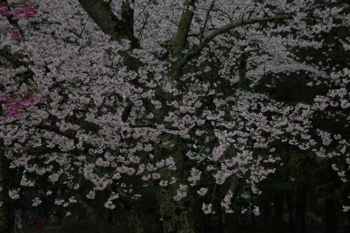 桜  2017  上賀茂神社_f0021869_23303827.jpg