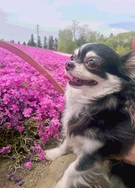 フライング芝桜…禿げてた…_c0079492_15543815.jpg