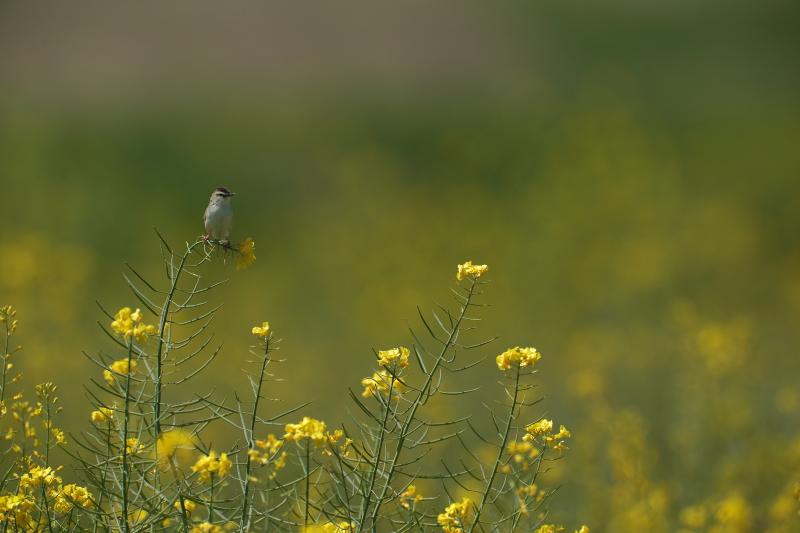 菜の花と麦畑【モズ・セッカ】_b0113228_19445992.jpg