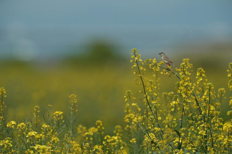 菜の花と麦畑【モズ・セッカ】_b0113228_19451680.jpg