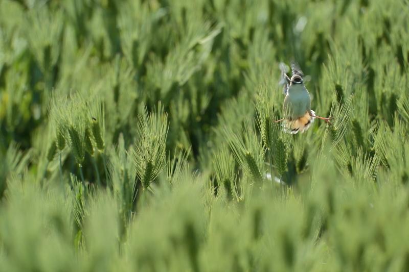 菜の花と麦畑【モズ・セッカ】_b0113228_19455093.jpg