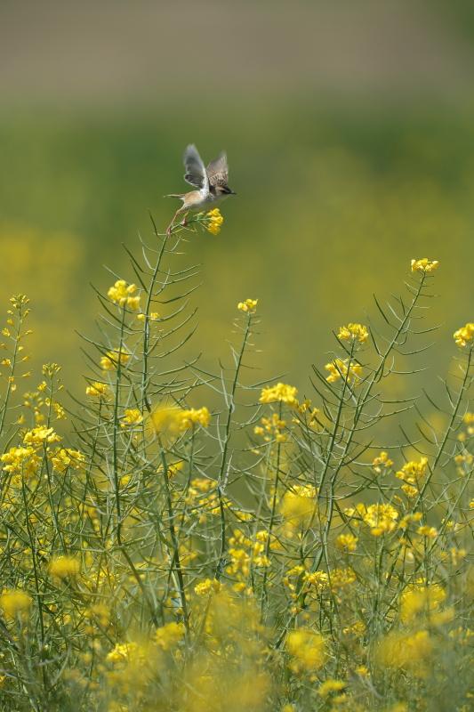 菜の花と麦畑【モズ・セッカ】_b0113228_1945777.jpg