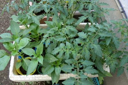 新緑に囲まれて、夏野菜の植え付け.._b0137932_16401083.jpg
