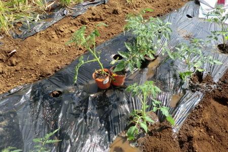 新緑に囲まれて、夏野菜の植え付け.._b0137932_16410777.jpg