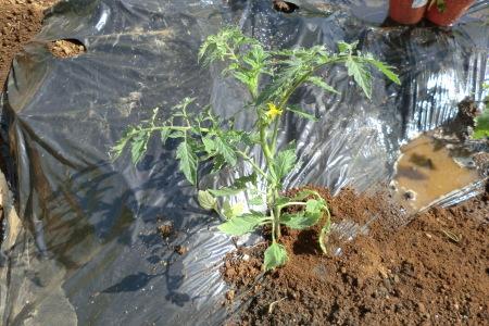 新緑に囲まれて、夏野菜の植え付け.._b0137932_16414676.jpg