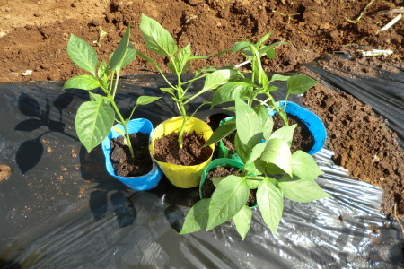 新緑に囲まれて、夏野菜の植え付け.._b0137932_16422988.jpg