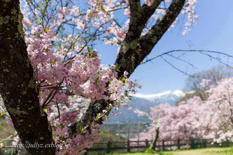 伊那谷の桜(2)_d0108132_16244046.jpg