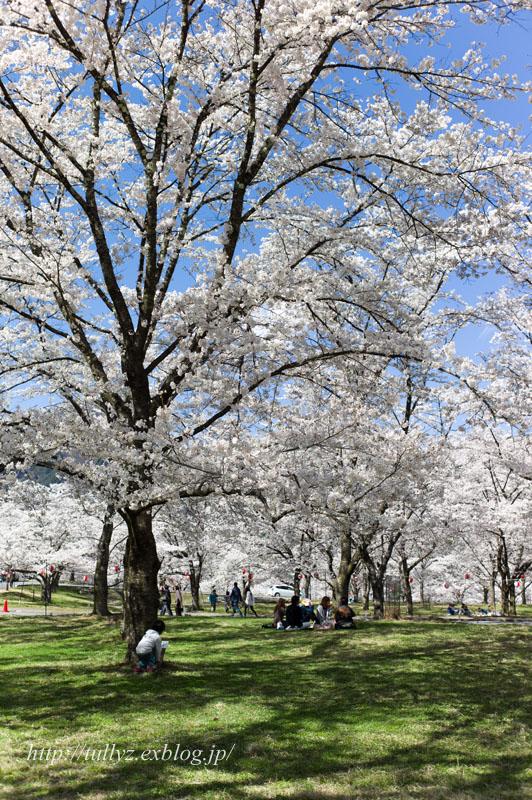 伊那谷の桜(3)_d0108132_16283540.jpg